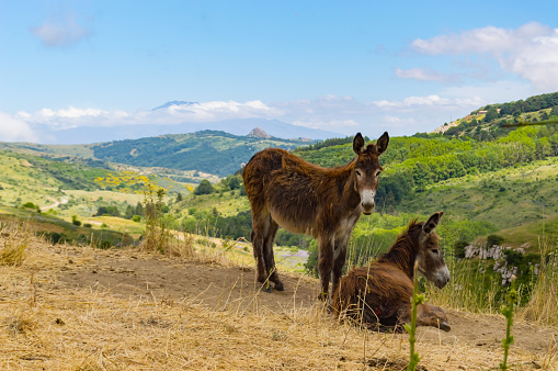 Two donkeys on a mound in a meadow in the mountains