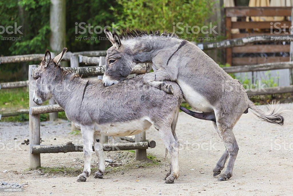 how big is a donkeys dick free sex videos big black cock
