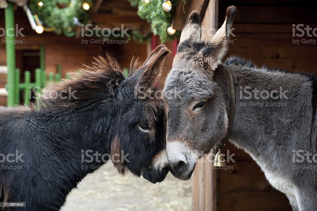 Zwei Eseln Schmusen – Foto