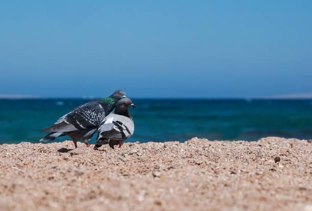 twee duiven op een zanderige oever morskoym tonen liefde voor elkaar. paar duiven - leatherback mouth stockfoto's en -beelden