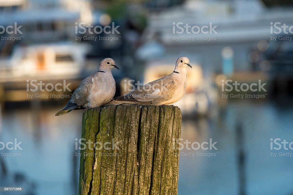 Zwei doves Lizenzfreies stock-foto