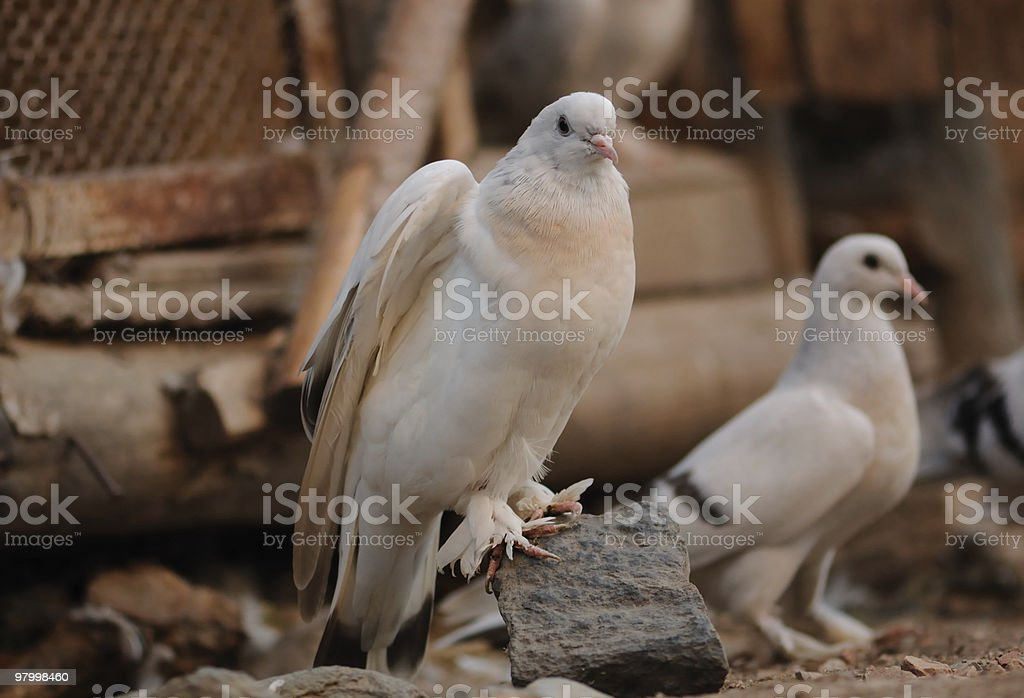 two doves royalty free stockfoto