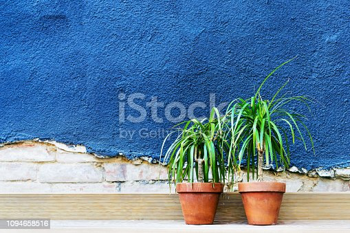 Two dracaena flowers in ceramic pots stand against a blue stucco brick wall with crack. Copy space