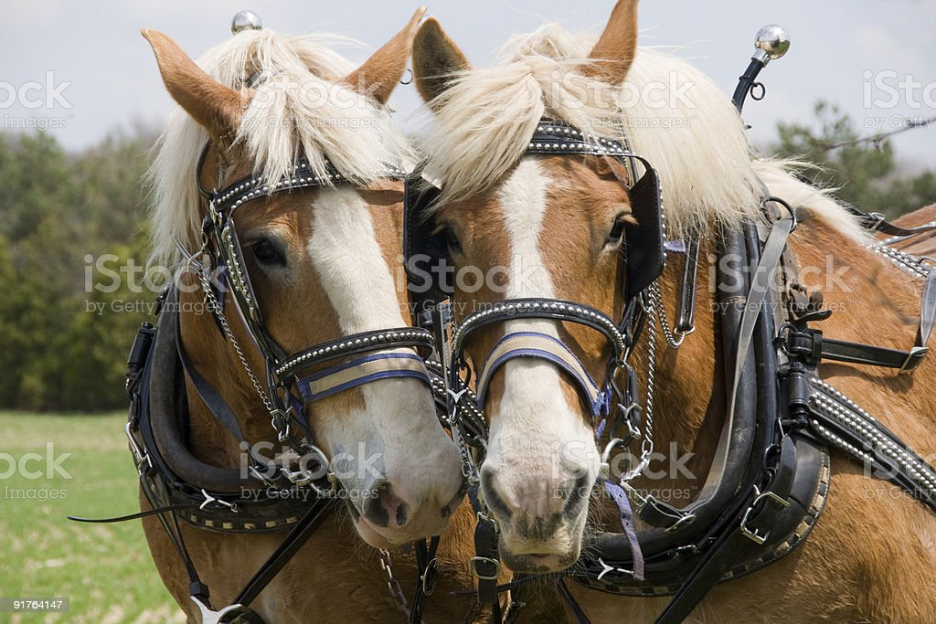 Two Draft Horses stock photo