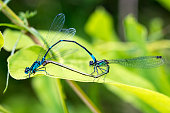 Two dragonflies mate on a green leaf. Natural background. Close-up.