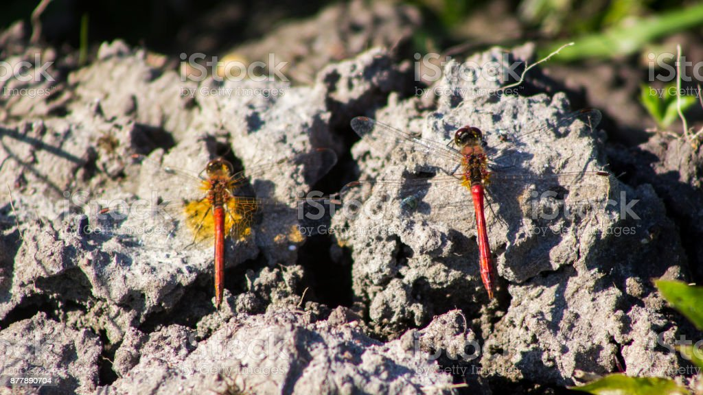 two dragonflies stock photo