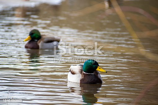 istock Two drakes swimming in a pond 1346486869
