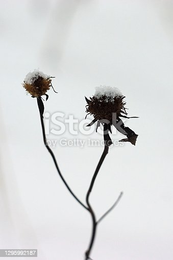 istock two dried flowers on a stalk in the snow 1295992187