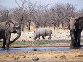 Zwei trinkende Elefanten an einem Wasserloch mit einem Rhinozeros vor Sträuchern im Hintergrund aufgenommen im Etoscha National Park in Namibia