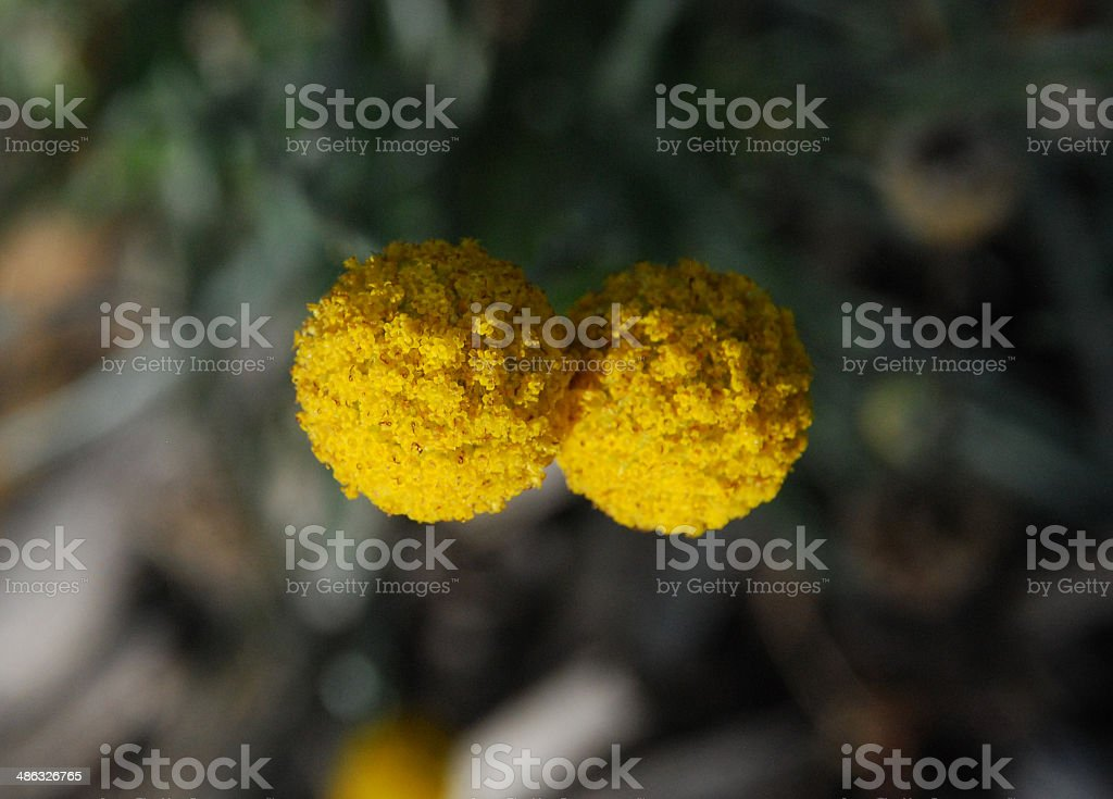 Two Drumstick flowers - Australian Native flowers stock photo