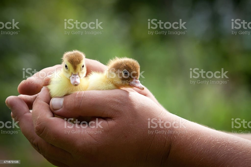 Two ducklings royalty-free stock photo