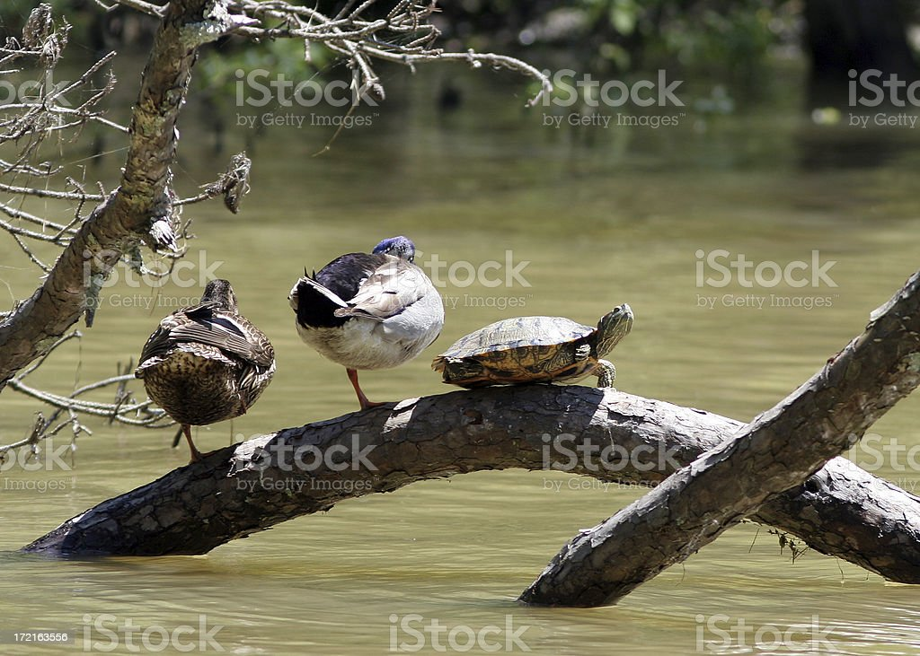 Two Ducks and a Turtle royalty-free stock photo