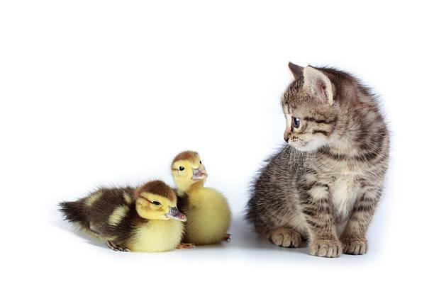 Two ducks and kitten picture id136622092?b=1&k=6&m=136622092&s=612x612&w=0&h=atbdawhcee0xqwd7dq3zpk6orl reiu0tx2cujhmyga=