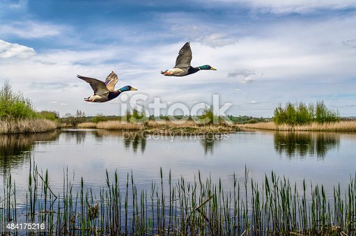 beatiful colour image of two ducks flying over a lake in somerset south west of england uk,