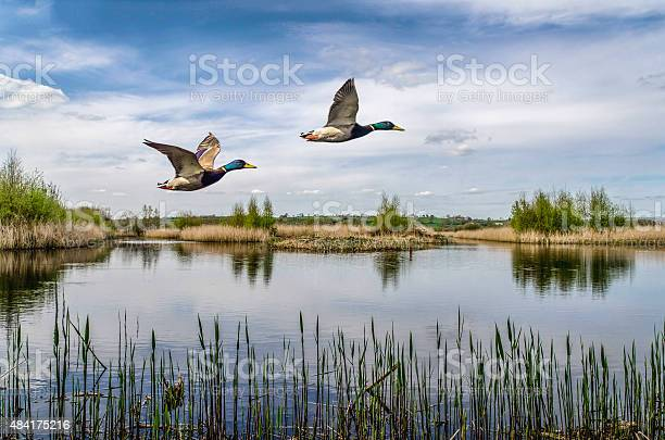 Two ducks flying over a lake in england uk picture id484175216?b=1&k=6&m=484175216&s=612x612&h= phc3s2sdvkyyl pyeoan6cnsehtanx j6tn9j1fwbc=