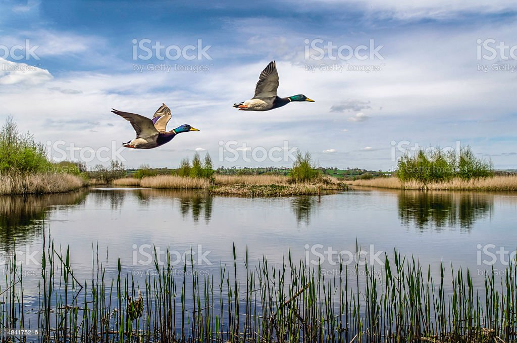 two ducks flying over a lake in england uk stock photo