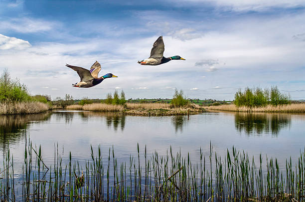 two ducks flying over a lake in england uk beatiful colour image of two ducks flying over a lake in somerset south west of england uk, duck bird stock pictures, royalty-free photos & images