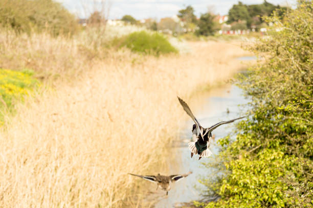 Two ducks in flight in the country. stock photo
