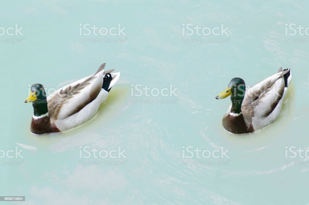 Two ducks in the lake stock photo