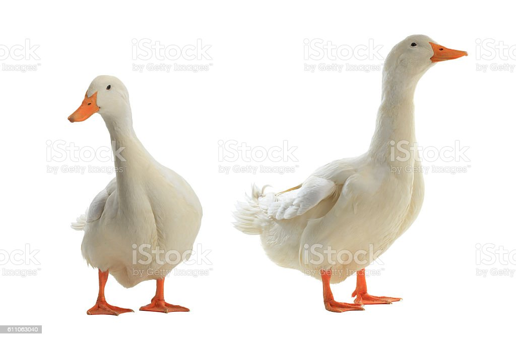 two ducks stock photo