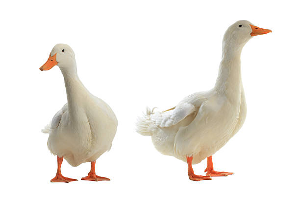 two ducks two Ducks on a white background duck bird stock pictures, royalty-free photos & images