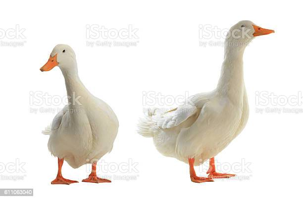two Ducks on a white background