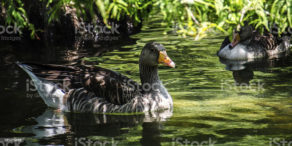 Two Ducks resting on water royalty-free stock photo