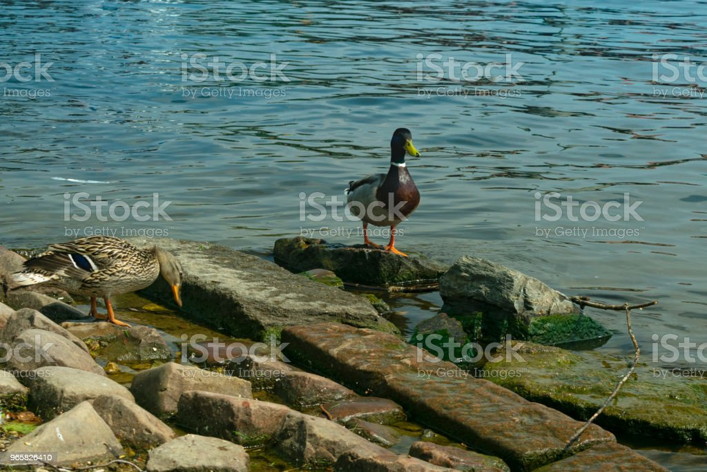two ducks stand on stones near the river bank - Royalty-free Animal Stock Photo