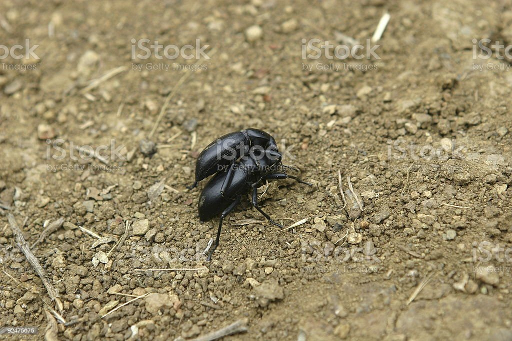 two dung beetles royalty-free stock photo