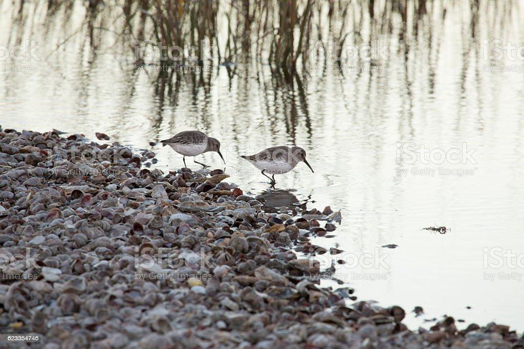 Two dunlins probe the estuary at Milford Point, Connecticut. stock photo