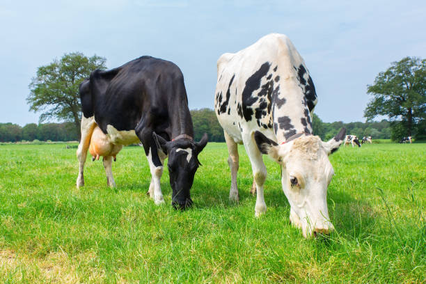 Two dutch cows grazing in green meadow stock photo