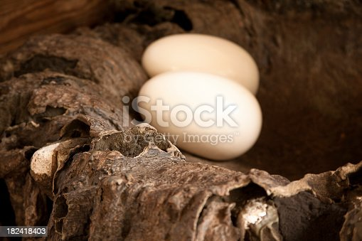 Pair of eagle eggs in a nest.