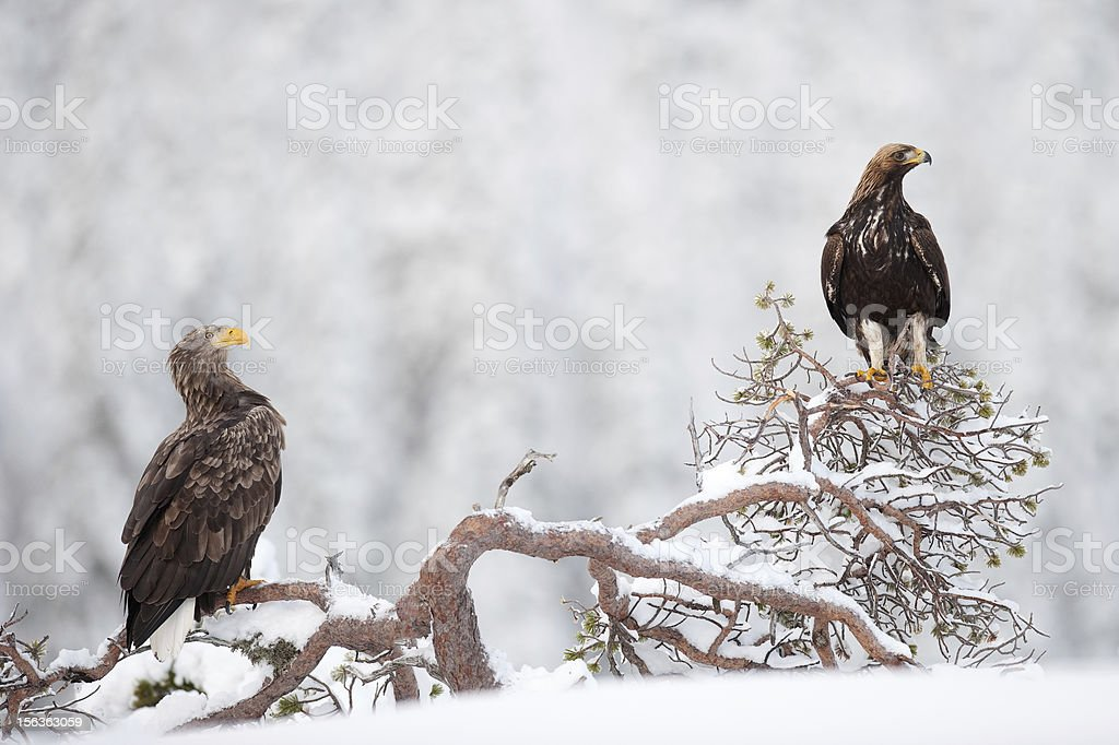 Two eagles in the wild stock photo