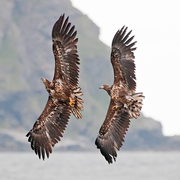 Dois eagles, Noruega - foto de acervo
