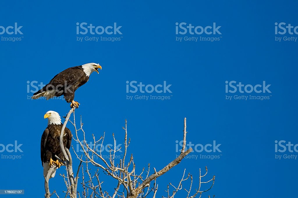 Two Eagles One Screaming stock photo