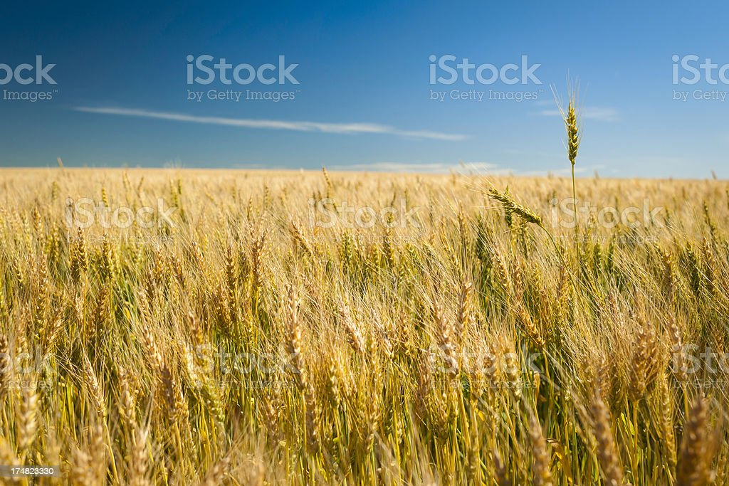 Two Ears royalty-free stock photo