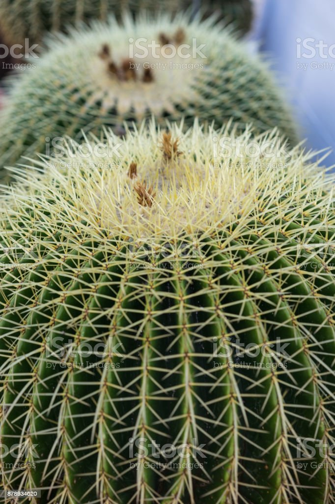 dos cactus grusonii de echinocactus cerca macro de estructura vista - foto de stock