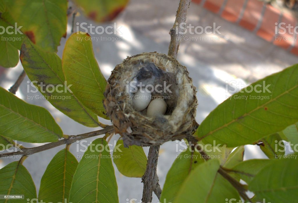 Two Eggs in a Hummingbird Nest stock photo