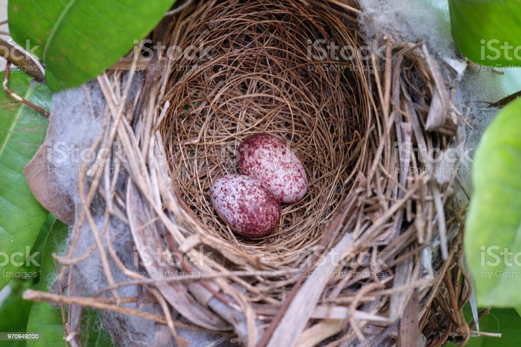 two eggs of Bulbul bird in nest on tree stock photo
