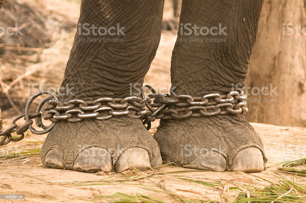 Two elephant legs that have been chained stock photo