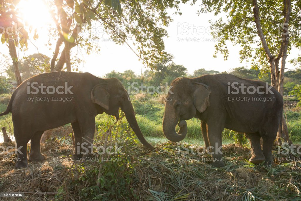 Two elephants communicate in jungle stock photo