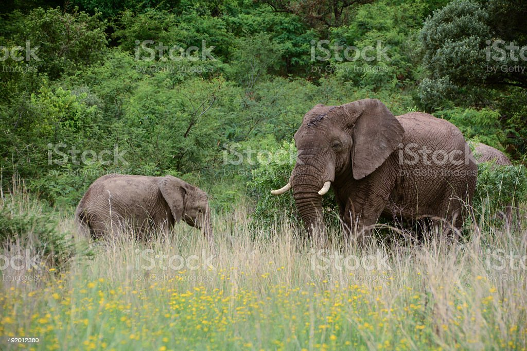 Two Elephants grazing in the grass royalty-free stock photo