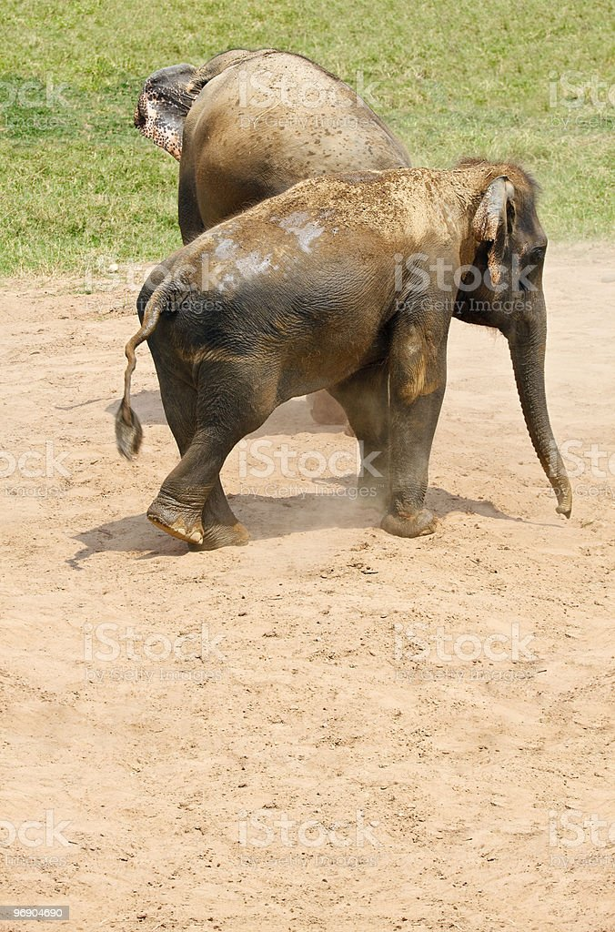 Two elephants in the dust. royalty-free stock photo