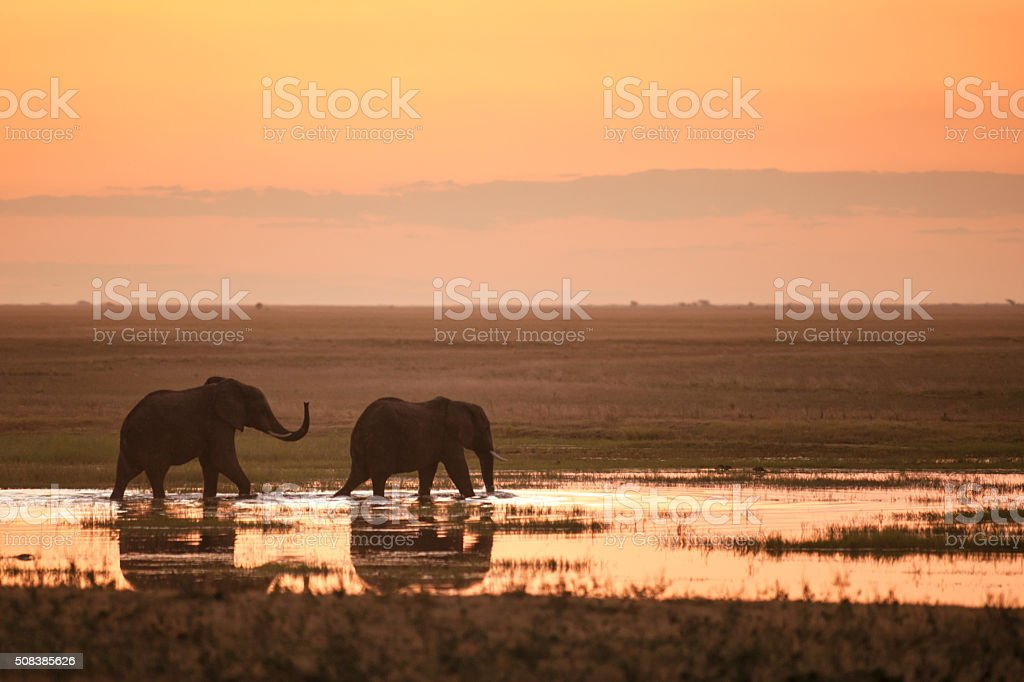 Two Elephants in the sunset stock photo