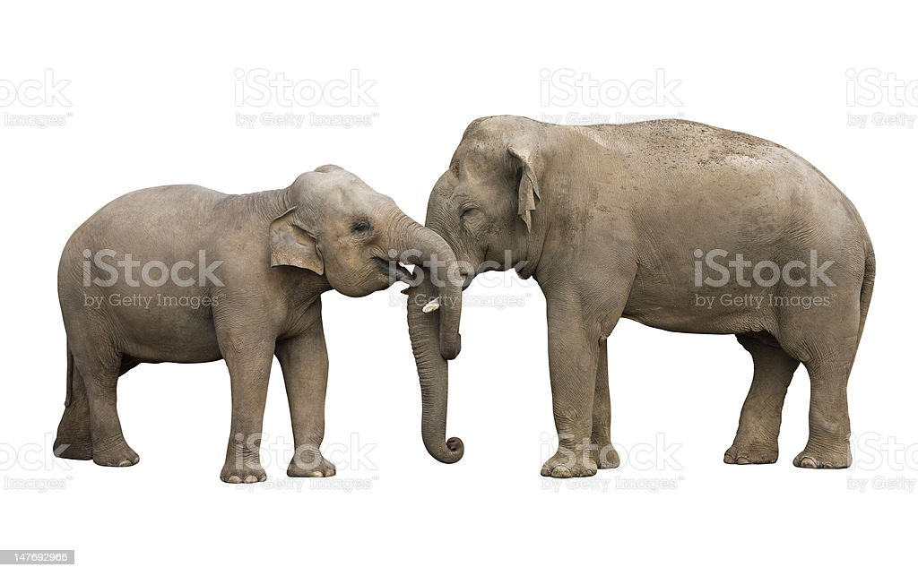 Two elephants isolated with a clipping path using pen tool. stock photo