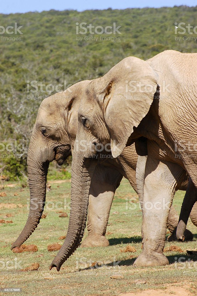 Two Elephants royalty-free stock photo