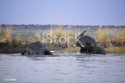 Two elephants play in the Chobe River, Botswana.