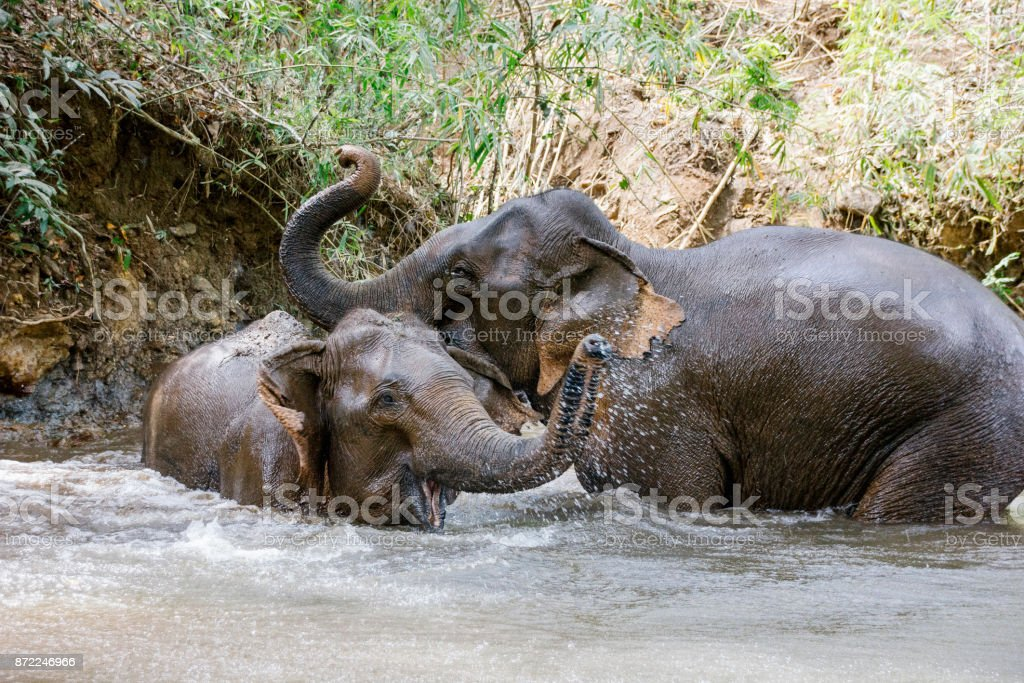 Two elephants playing in a jungle river in Cambodia stock photo