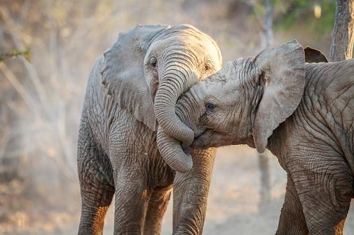 Two Elephants Playing 照片檔及更多 克魯格國家公園 照片