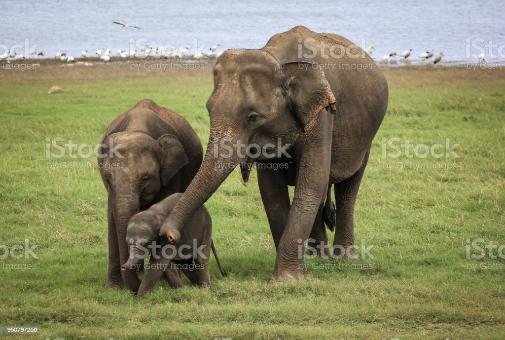 Two elephants with baby in Sri Lanka preserve stock photo